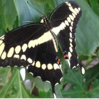 swallowtail-butterfly-copy