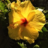 yellow-hibiscus-copy