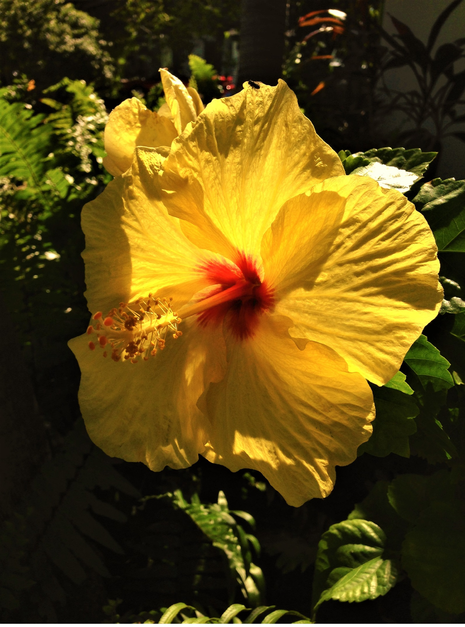 Our yellow hibiscus is in bloom-- oh so pretty in the sunshine!