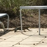 iguana-2-at-patio-jpg